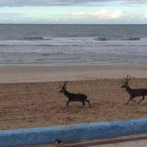 Dos venados campan a sus anchas por la playa de Doñana
