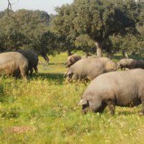 La Feria del jamón de Aracena arranca este fin de semana